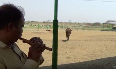 animal rahat cow india