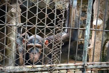 chimp thailand zoo .
