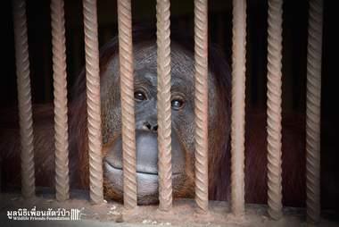 orangutan thailand zoo