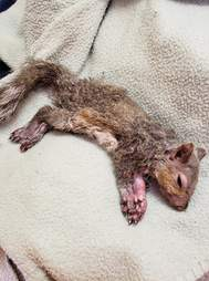 injured squirrel