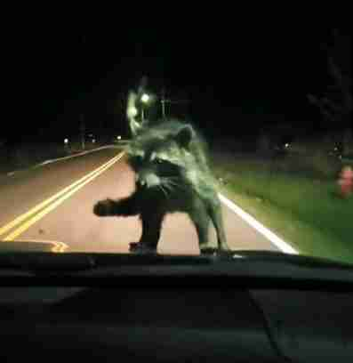 Family Flips Out Over Raccoon Riding On Hood Of Car