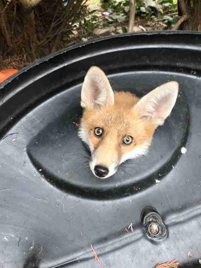 fox stuck in trash lid