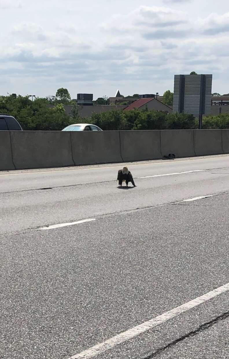 Injured bald eagle on Route 30
