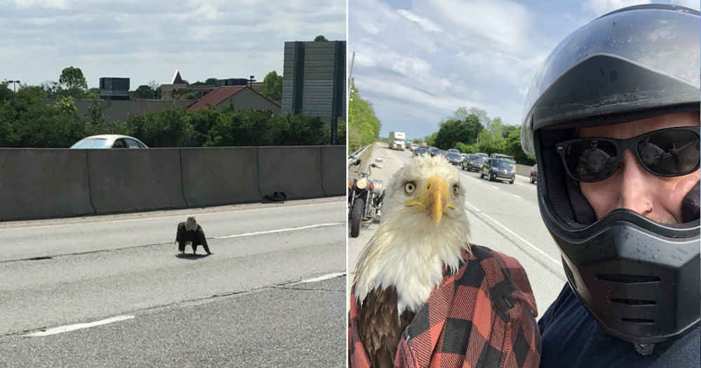 Guy Sees A Bald Eagle Caught In Traffic — And Saves Her Life
