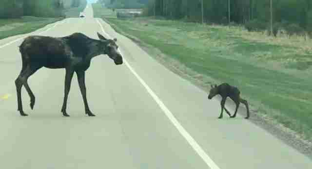 Adorable Video Shows Mother Moose Helping Her Baby Cross The Road