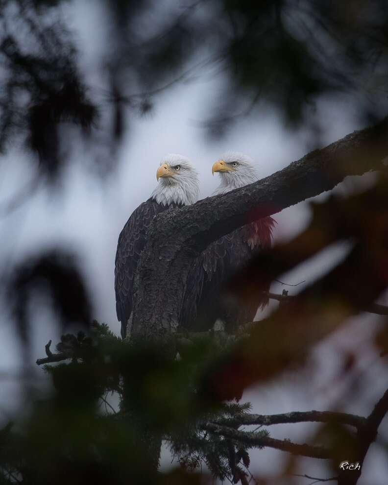Washington bald eagle couple Ricky and Lucy