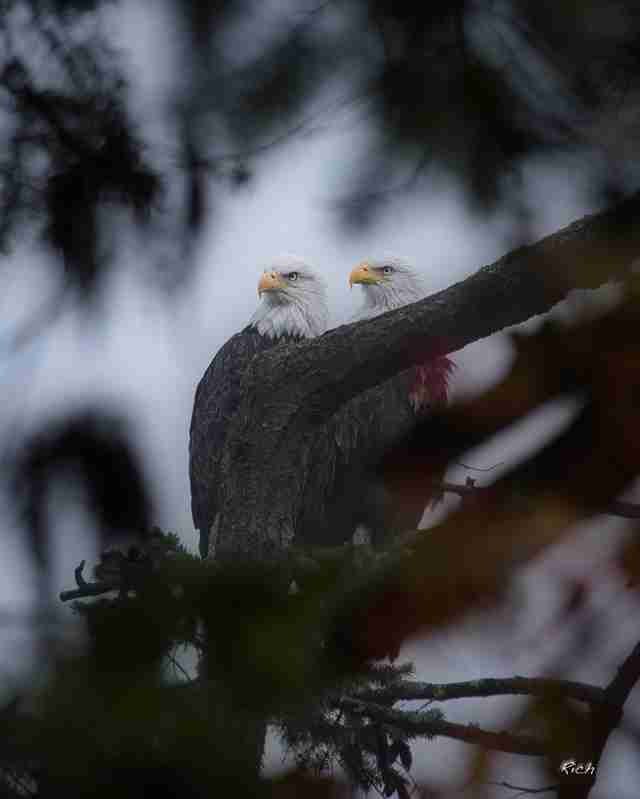 Washington bald eagle couple Ricky and Lucy