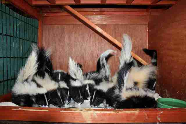 skunk rescue orphans