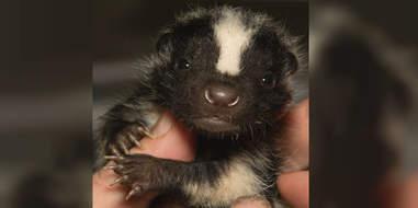 skunk rescue orphan