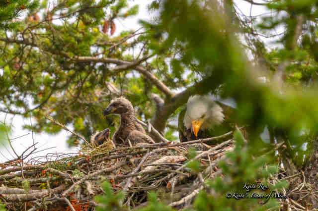 Eaglets in their nest with their mom