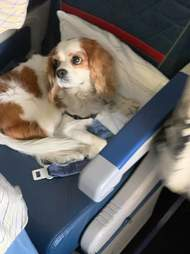 Cavalier King Charles Spaniel sitting in first class