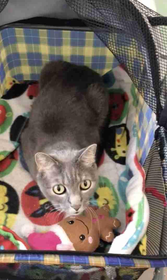 shelter cat loves stroller