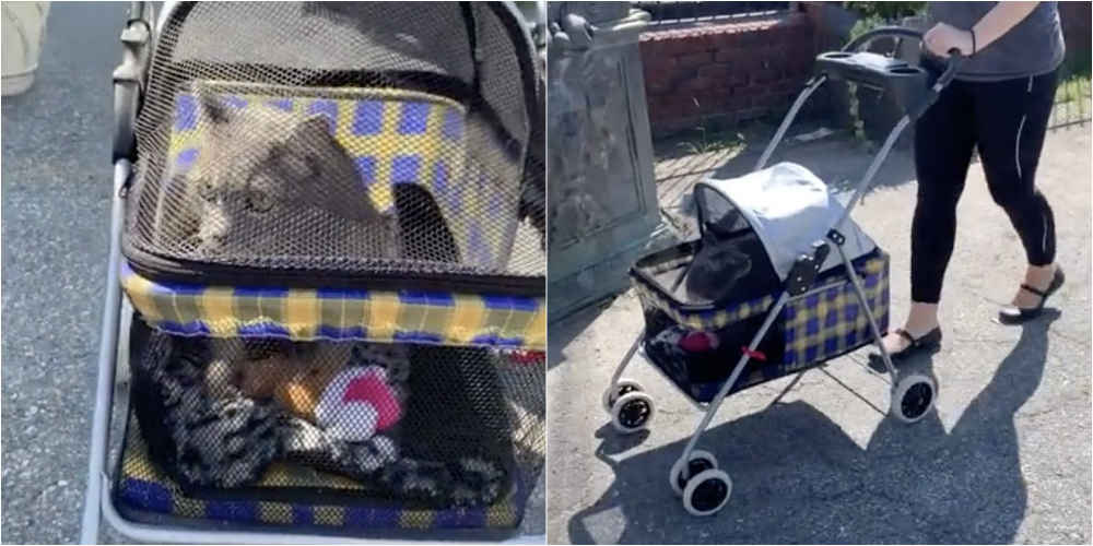 Shelter Cat Is Obsessed With Going For Walks In His Stroller