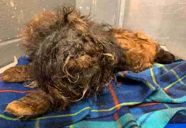 Little Dog Who Was So Matted She Couldn't See Looks So Different Now