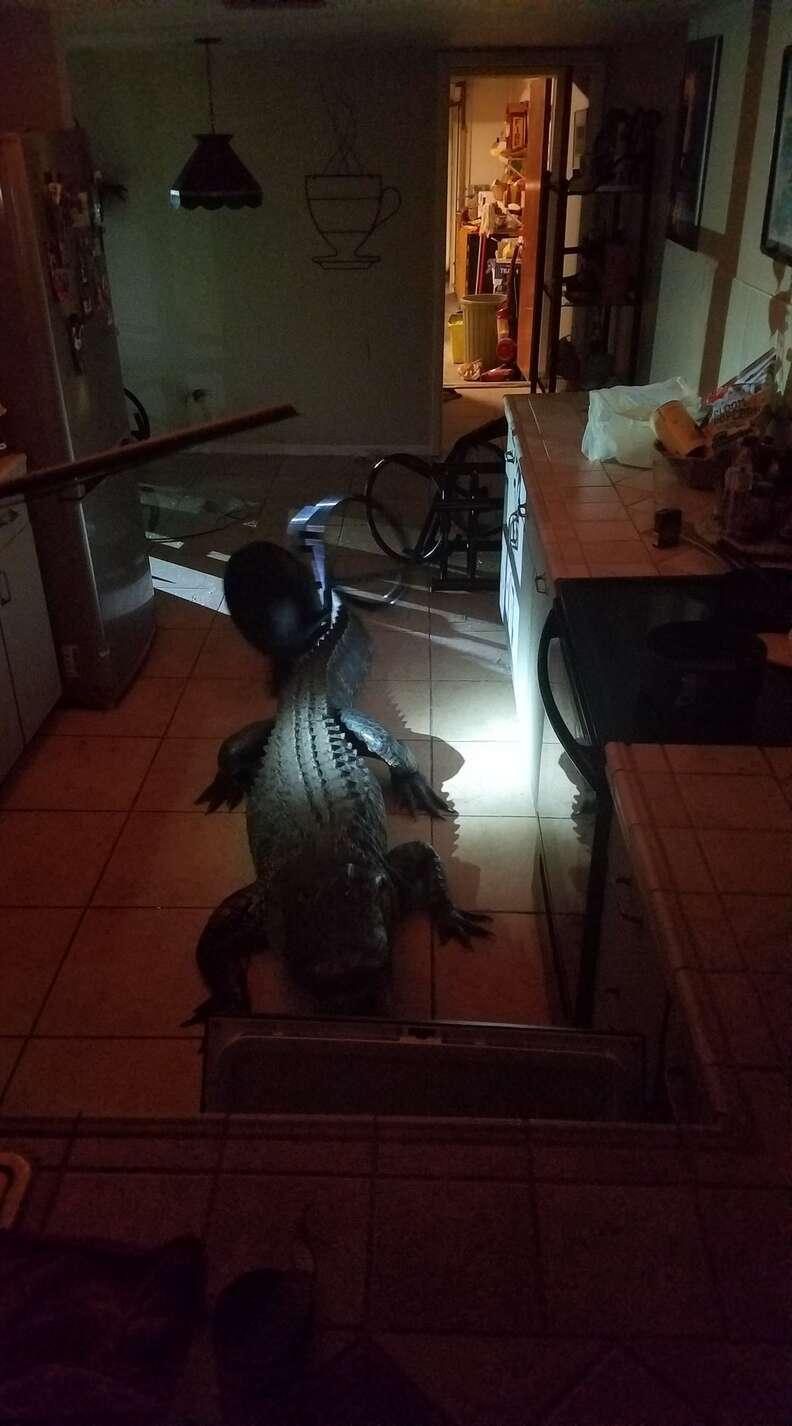 11-foot alligator in Clearwater, Florida, kitchen