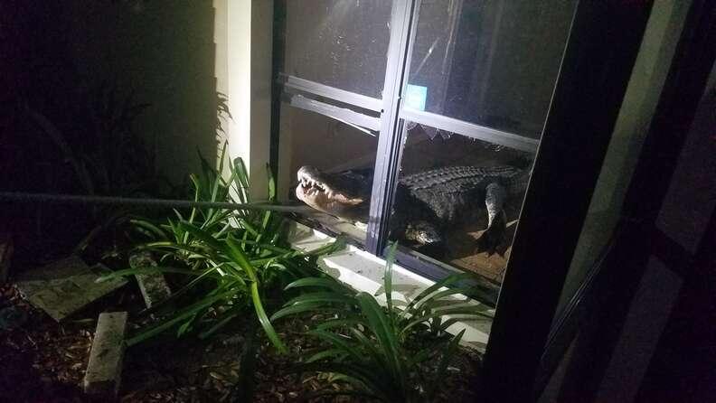 Alligator breaks into Florida home