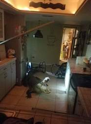 Huge alligator breaks into home in middle of night