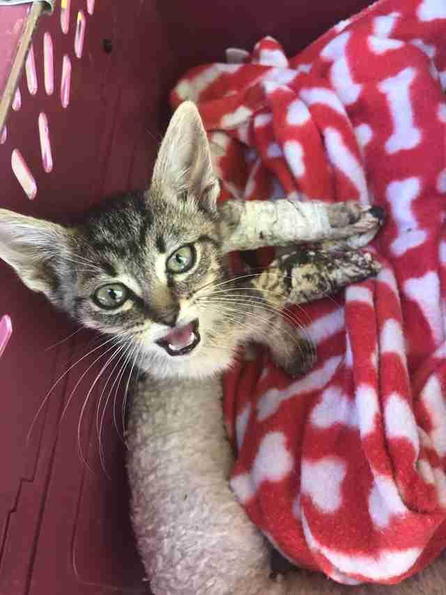 casts kitten