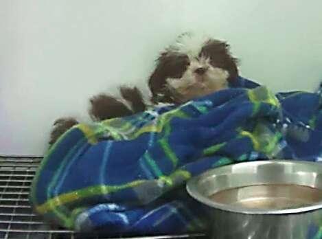 Panda, a sick Shih Tzu puppy at a Texas Petland store