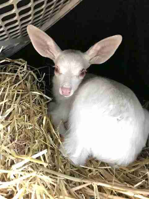 fawn rescue white albino