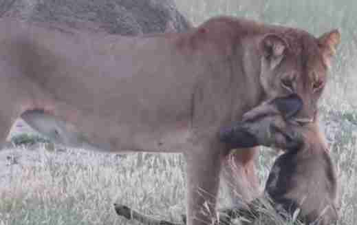 Wild dog plays dead to escape lioness