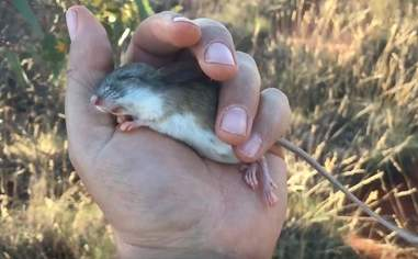 A hopping mouse in torpor
