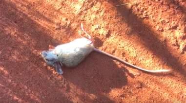 A spinifex hopping mouse in an Australian desert