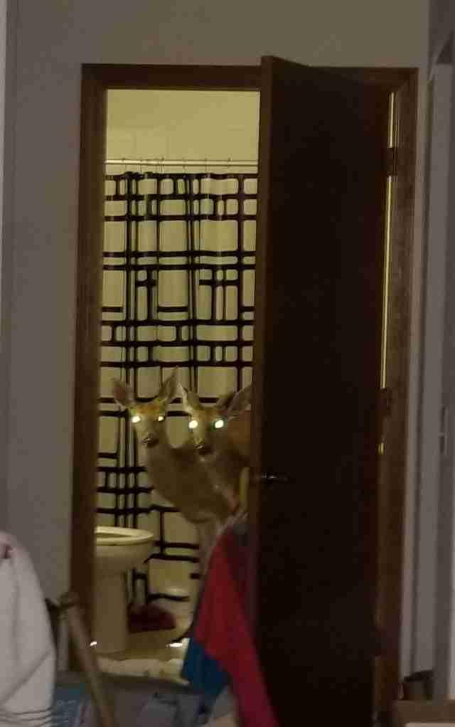 Deer intruders caught in woman's bathroom