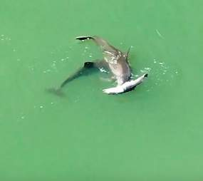 Mother dolphin refuses to let go of her dead calf