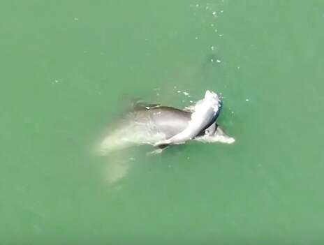 Dolphin mourns her baby