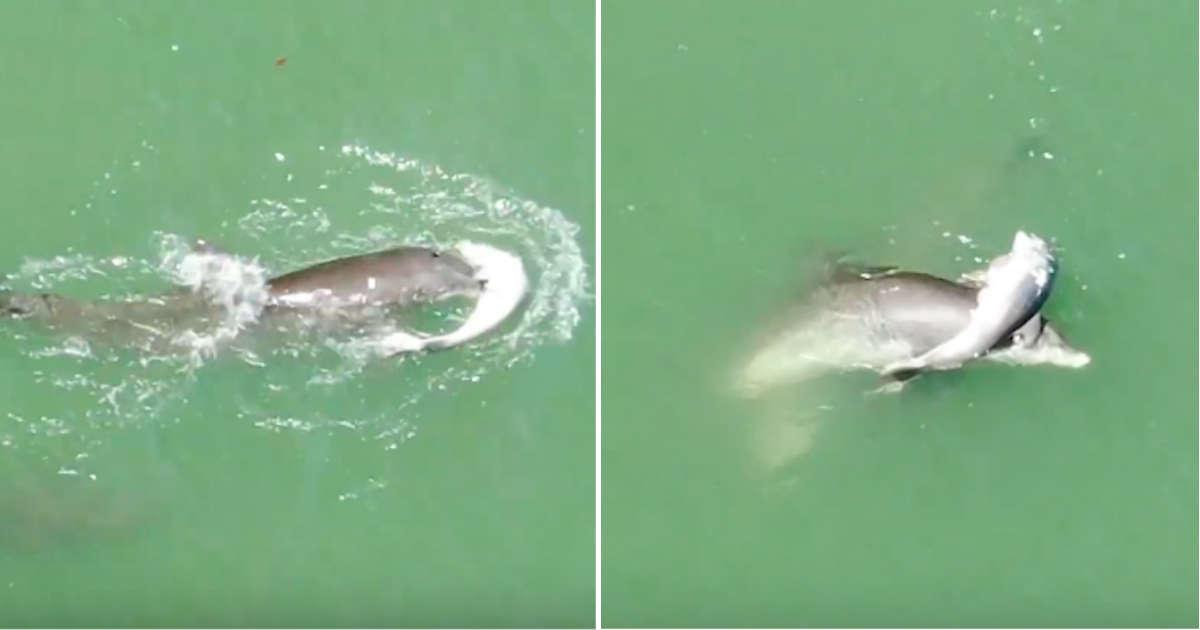 """Induk Lumba-lumba Biarkan Diri Disaksikan Manusia Saat Lakukan """"Prosesi"""" Kematian Anaknya"""