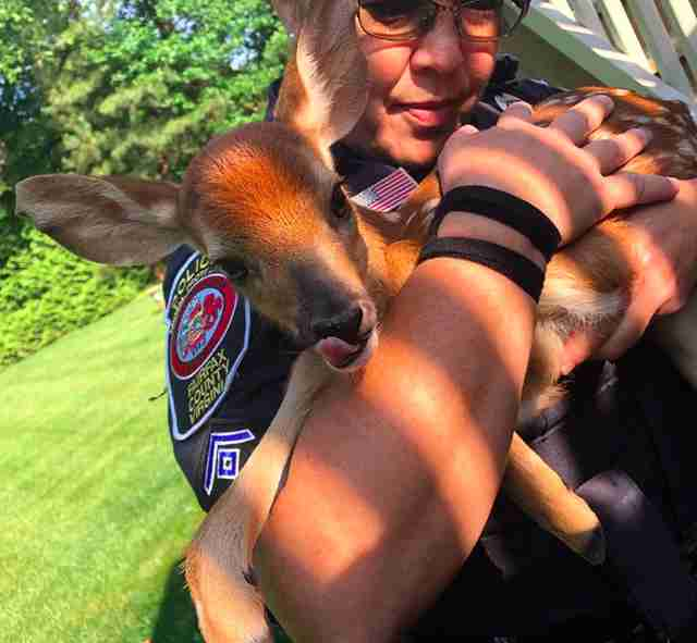 Baby fawn rescued from window well by police