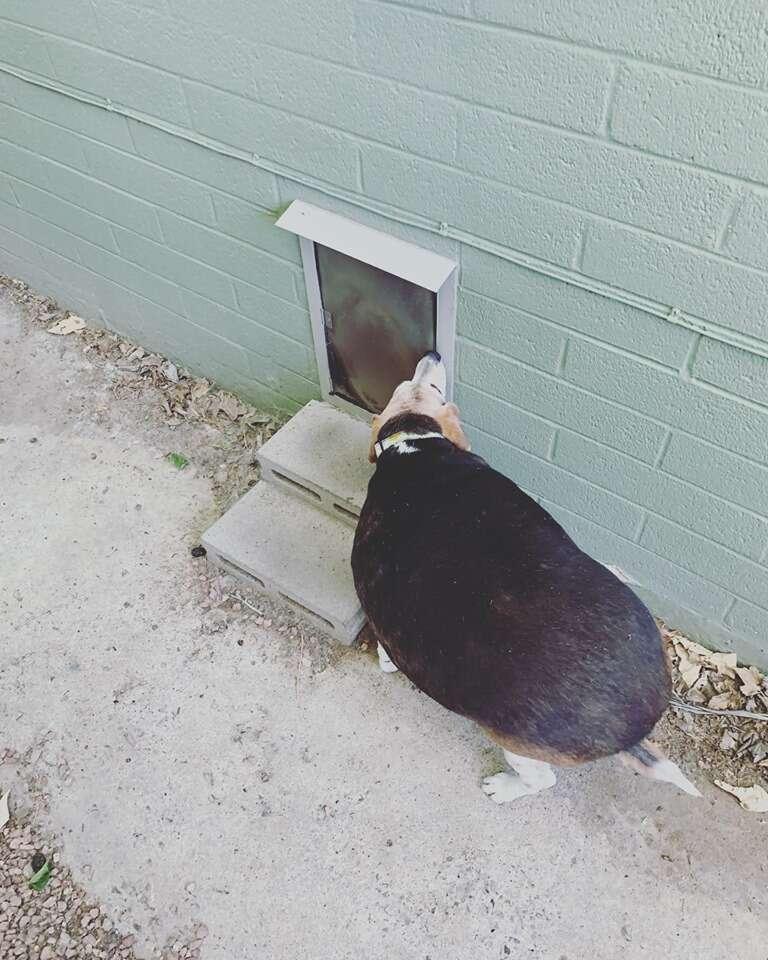 Obese beagle found in Arizona kill shelter