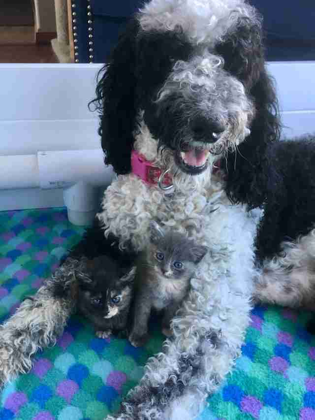 Dog mom gets two new kittens to raise