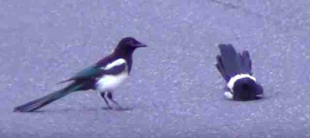 Magpie discovering motionless friend in viral video