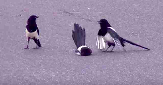 Magpies resurrecting stunned friend