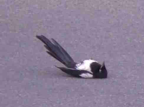 Stunned magpie in viral video