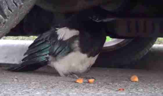 Stunned magpie recovering under car