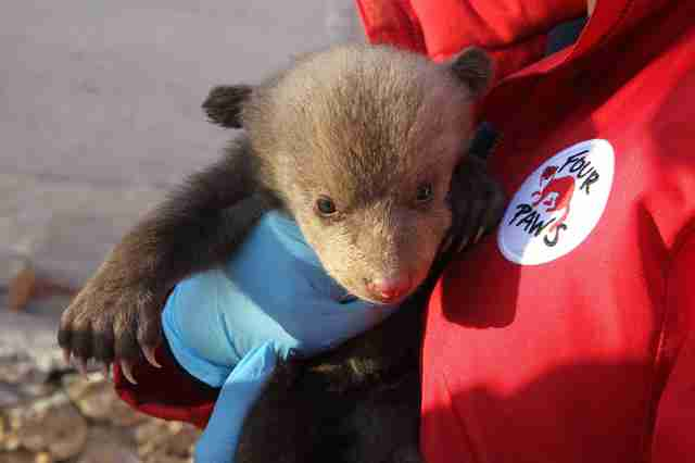 Bear cub saved from Kosovo basement