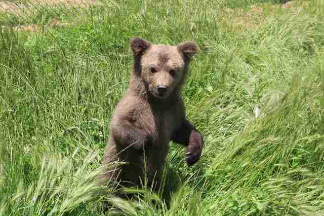 Bear cub liberated from Kosovo basement