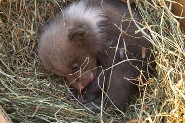 Baby bear mistaken for puppy