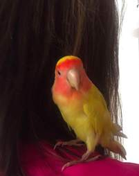 Blondie the lovebird before he lost his feathers