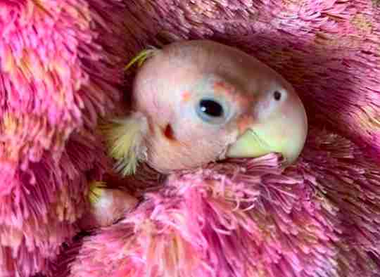 Blondie the naked bird snuggles in a stuffed animal