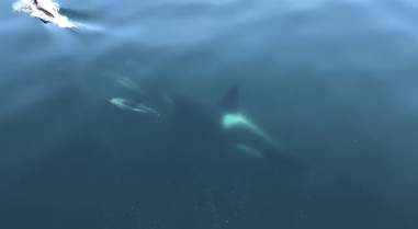 dolphins swim with orca