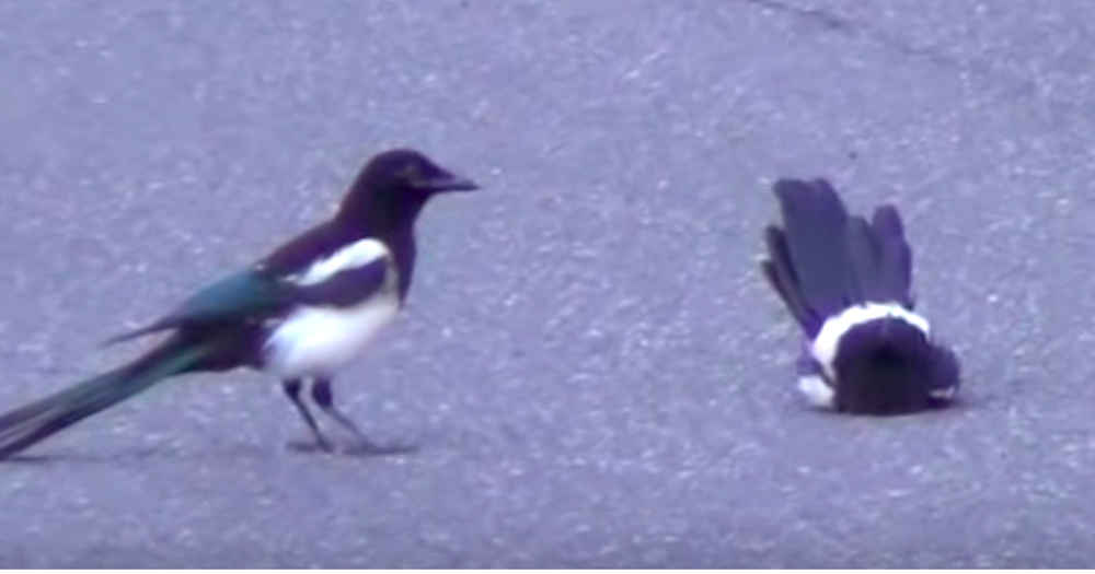 Bird Sees Friend Not Moving And Is Determined To Wake Him Up