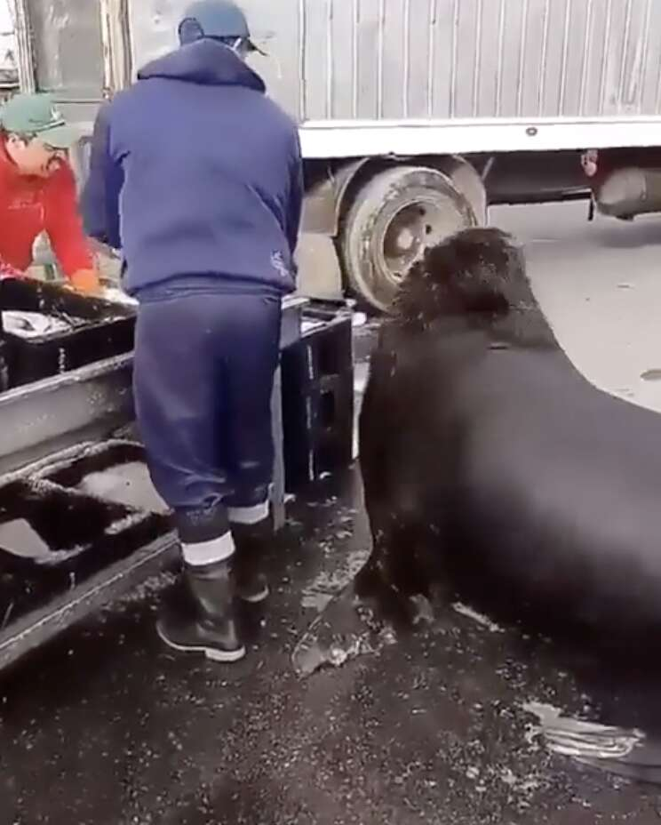 sea lion goes to fish market
