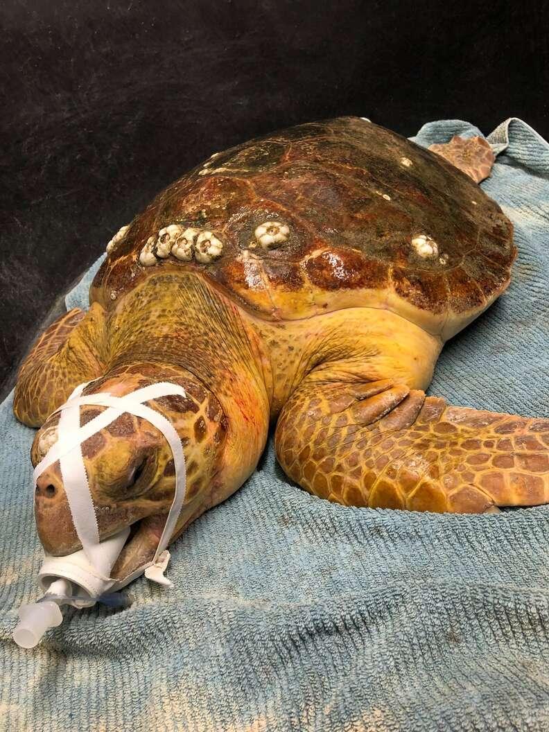 sea turtle swallows fishing hook