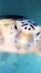 sea turtle swallows fishing hook