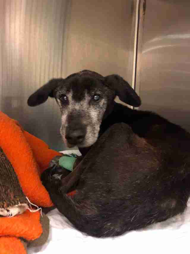 Neglected old dog who ended up in kill shelter