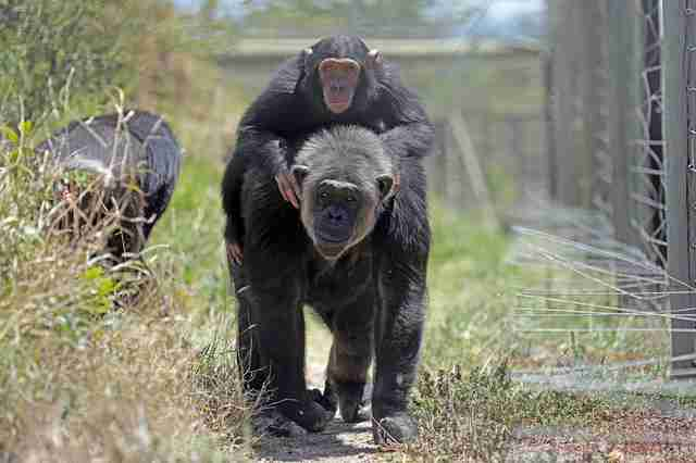 Rescued chimp with new friend at sanctuary